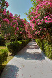Flower path. The way along rose bushes Stock Photography
