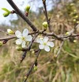Flower of peach Stock Photos