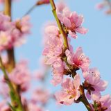 Flower from peach tree Stock Photo