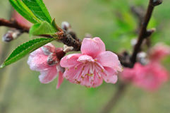 Flower on peach tree in spring. Pink peach flower in spring, with green leaf and slim branch Royalty Free Stock Images