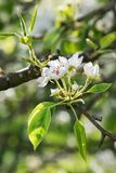 Flower pear spring sunny day Royalty Free Stock Photography
