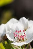 Flower of pear tree Royalty Free Stock Photos