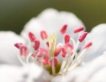 Flower of pear tree Stock Photos