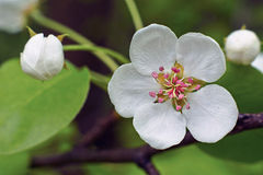 Flower of pear tree. Royalty Free Stock Photos