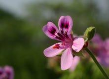 Flower, Pelargonium, Geranium Stock Photo
