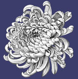 Flower. Pencil Drawing. Chrysanthemum. White Flower. Realistic Pencil Drawing. Colored Background Royalty Free Stock Photography