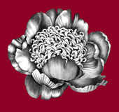 Flower. Pencil Drawing. Royalty Free Stock Image