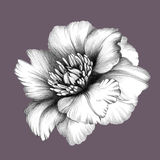 Flower. Pencil Drawing. Peony. White Flower. Realistic Pencil Drawing. Colored Background Stock Photo