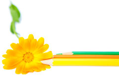 Flower with pencils Stock Images