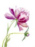 Flower  peone Royalty Free Stock Photos