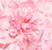 Flower of peony Stock Photo