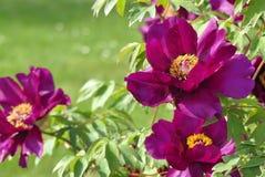 Flower, Peony, Plant, Flowering Plant stock photo
