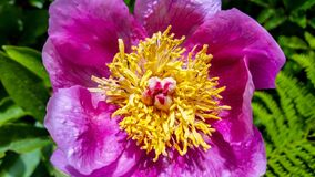 Flower, Peony, Plant, Flowering Plant stock image