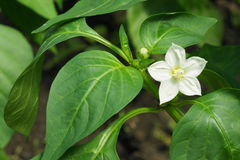 Flower of pepper Stock Photography