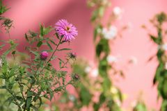 Flower perennial aster Royalty Free Stock Image
