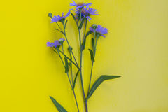 Flower of perennial violet aster on yellow background. Top view. Royalty Free Stock Photo