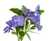 Flower periwinkle Stock Photo