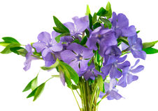 Flower periwinkle isolated Royalty Free Stock Photography