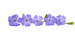 Flower periwinkle isolated Royalty Free Stock Photos