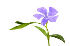 Flower of periwinkle isolated on white Stock Image