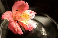 Peruvian lily on Stones royalty free stock photos