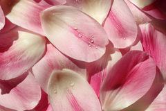 Flower Petal Background Stock Photography