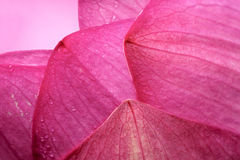 Flower petal. The close-up of lotus flower petal Royalty Free Stock Images
