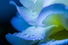 Flower petal with drops. At blue background stock photography