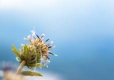 Flower after petal fallen Stock Images