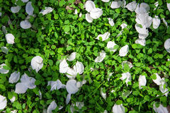 Flower petal on green grass Royalty Free Stock Images