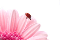 Flower petal with lady bug stock photo