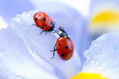 Flower petal with ladybug stock photo