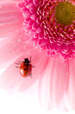 Flower petal with ladybug Royalty Free Stock Photography