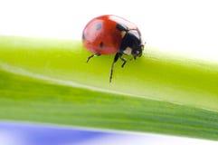 Flower petal with ladybug Royalty Free Stock Image