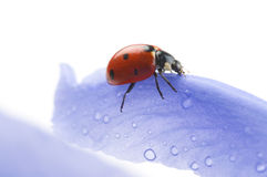 Flower petal with ladybug Royalty Free Stock Images