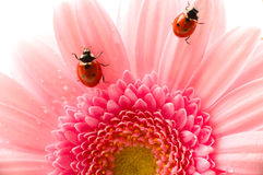 Flower petal with ladybug Stock Photo
