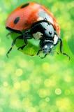 Flower petal with ladybug stock image