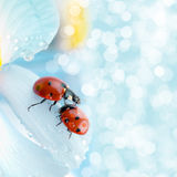 Flower petal with ladybug Royalty Free Stock Photos