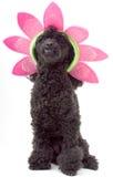 Flower Petal Poodle Royalty Free Stock Images
