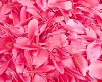 Flower petals. Pink background from flower petals Stock Image