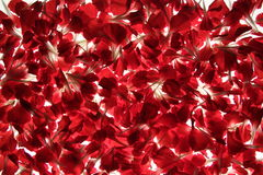 Flower Petals. Against the white background stock images
