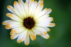 Flower Petals 2. Beautiful garden daisy in full bloom with delicate petals and colors. Soft focus Stock Images