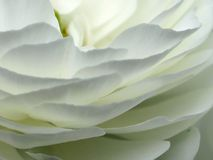 Flower Petals Close-up. A close-up of the petals of a white rose stock image