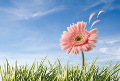 Flower with petals flying Royalty Free Stock Photo