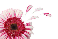 Flower with petals isolated. On white -clipping path Royalty Free Stock Photography