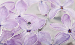 Flower petals of lilac in water abstract background Stock Image