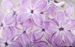 Flower petals of lilac in water abstract background Stock Photography