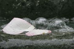 Flower Petals in the rain. Pink Flower Petals in the rain with bubbles in display royalty free stock images