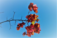 FLOWER PETALS AND SKY. Contrasts of colors between flower petals, red coloured and the blue sky Royalty Free Stock Image