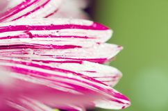 Flower petals with water droplets close-up macro, selective focus. Floral background stock photo
